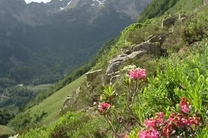 Rhododendrons à 1650 mètres