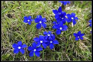 Gentiane de printemps