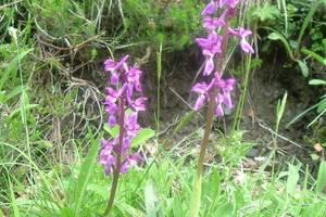 Orchis mâle
