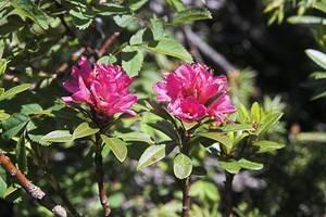 Rhododendrons au lac des Gloriettes