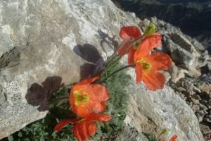 Pavot parfumé ou Pavot orange des Pyrénées