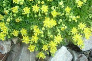 Saxifrage faux-aizoon