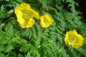 Meconopsis du Pays de Galles