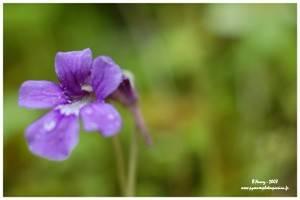 Fleur de la grassette vulgaire