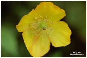 Méconopsis du Pays de Galles