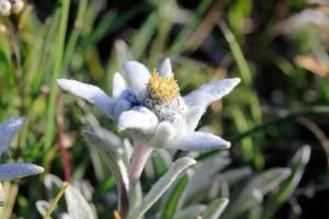 Edelweiss dans les Hautes-Alpes