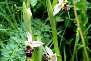Ophrys becasse Orchidacée terrestre européenne lors d'une randonnée à Estaing en Aveyron