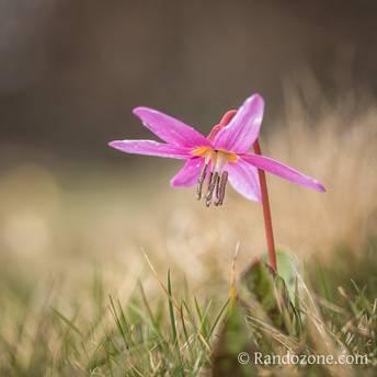 Fleur de montagne : Dent de Chien