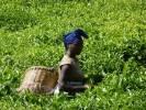 Rwanda - Gisakura - plantations de thé