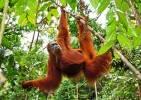 Indonésie - Orang-outan de Sumatra
