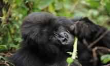Ouganda-Parc National de la Forêt impénétrable de Bwindi