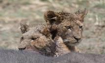 Tanzanie - parc national du Serengeti